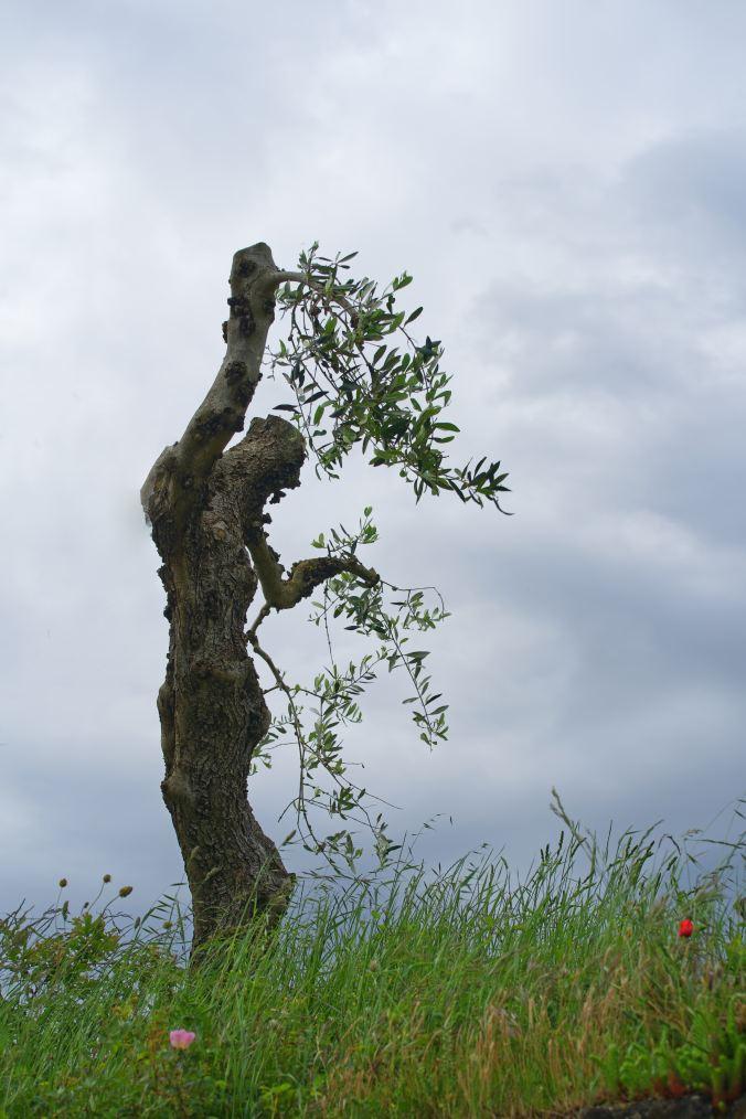 l'olio d'oliva nell'antichità